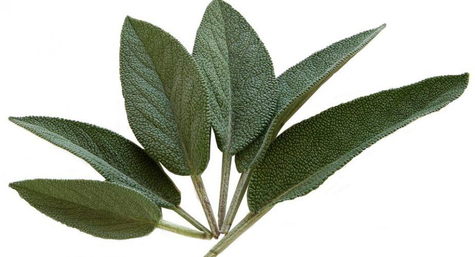 Szałwia — zioło o wszechstronnym zastosowaniu