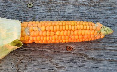 Kukurydza – właściwości i wpływ na zdrowie