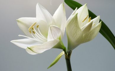 Białe kwiaty występujące w perfumach