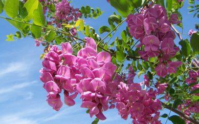 Niedoceniany kwiat akacji — kosmetyczne i zdrowotne właściwości