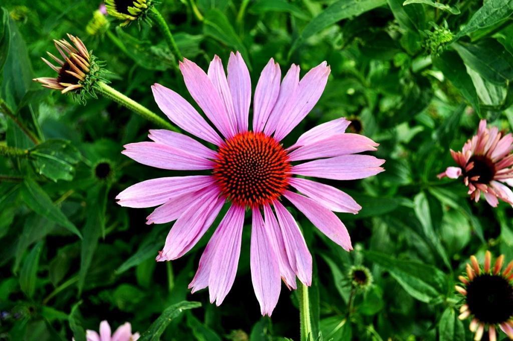 Jeżówka purpurowa – cudowna roślina o właściwościach kosmetycznych